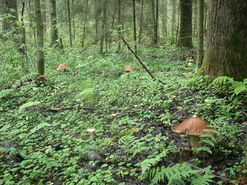 грибы все виды в картинках описание название