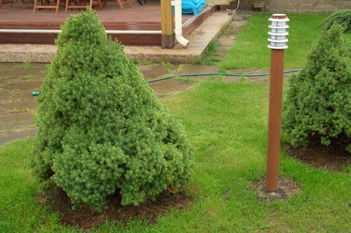 фото карликовая ель